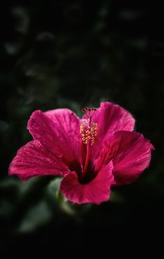 Pink Hibiscus growing in South Africa. Flower Iphone Wallpaper, Abstract Iphone Wallpaper, Emoji Wallpaper, Aesthetic Iphone Wallpaper, Wallpaper Backgrounds, Hibiscus Flowers, Flowers Nature, Love Flowers, Dussehra Images