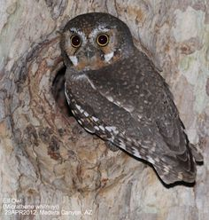 Elf Owl audio- Macaulay Library