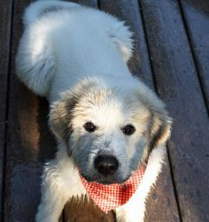 Arnie the Great Pyrenees