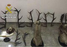 Detenidos por el robo de cabezas de ciervo, cuernas de gamo y un colmillo de elefante