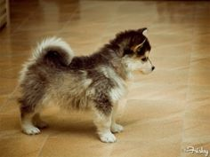 As a rule I don't like little dogs but I think I would let this Pomsky - siberian husky pomeranian mix live in my house :) Husky Pomeranian Mix, Siberian Husky Mix, Puppy Husky, Pomsky Puppies, Cute Puppies, Cute Dogs, Dogs And Puppies, Teacup Pomeranian, Doggies