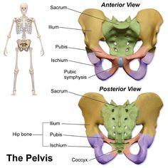 Question of the Day! What three bones make up the pelvic girdle? |MedicalTerminology4fun.com;image:Blausen 0723 Pelvis