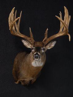 Big Whitetail Bucks, Whitetail Deer Hunting, Whitetail Deer Pictures, Taxidermy Display, Big Deer, Deer Mounts, Deer Camp, Big Boyz, Mule Deer