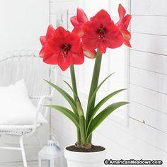 Lagoon Amaryllis Bulb, Hippeastrum, Amaryllis - Indoor Flower Bulbs from American Meadows