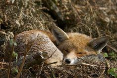 Fox, napping. England. Photo by @RichardBowler!