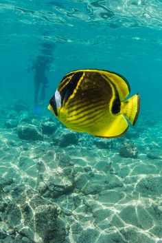 Raccoon Butterflyfish and Snorkeler in Shallow Waters of the Big Island of Hawaii
