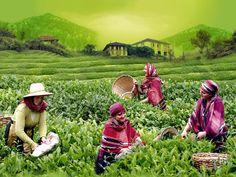 çay toplayan kadınlar resmi ile ilgili görsel sonucu