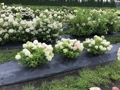 Bobo Hydrangea, Dwarf Hydrangea, Limelight Hydrangea, Hydrangea Paniculata, Hydrangeas, Hydrangea Landscaping, Landscaping Plants, Front Yard Landscaping, House Plants For Sale