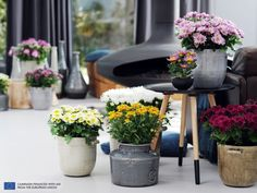 The Pot Mum is the Houseplant of the month of October 2014  thejoyofplants.co.uk