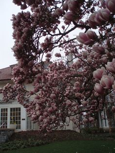 Tulip trees in full bloom on the Dickinson College campus in Carlisle, Pennsylvania.  Gorgeous!