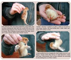 Determining Sex in Chicks by Don Schrider from the June/July, 2011 issue of Backyard Poultry