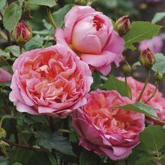 Boscobel   English Rose - bred by David Austin   Shrub Rose
