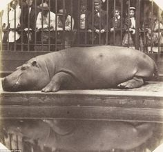 1852 photograph of the first hippopotamus in the UK, and first in Europe since Roman times.