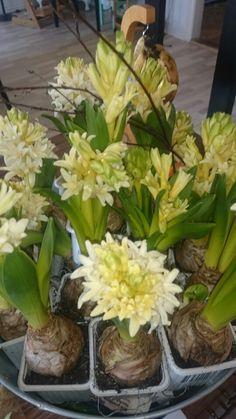Hyacinter fra eget drivhus Cabbage, Vegetables, Plants, Food, Essen, Cabbages, Vegetable Recipes, Meals, Plant