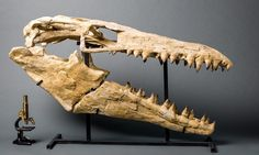 This spectacular Mosasaur skull belonged to a ferocious 35-foot predator and measures nearly 5 feet in length! Mosasaurs were prehistoric reptiles that roamed the ancient oceans more than 70 million years ago, the last age of the dinosaurs. They have become famous ever since they were highlighted in the Hollywood film, Jurassic World.  The first Mosasaur fossils were excavated near the Meuse River in Germany in 1764. This incredible recent find came from North Africa.