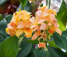 Learn How To Plant, Care and Grow Splendid Canna Lilies - How to Grow Garden Canna Lily, Canna Flower, Full Sun Plants, Large Plants, Yellow Flowers, Colorful Flowers, Picasso, Canna Bulbs, Red Freckles