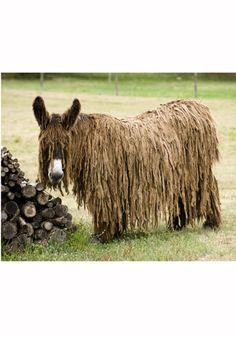 Dreadlocked Donkey