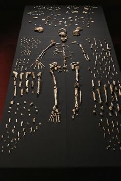 Scientists Discover New Human Ancestor, Creationists Lose Last Remaining Brain Cell Freaking Out | Anthropologists in South Africa announced the fascinating discovery of a never-before-seen human ancestor that has turned everything we know about the origins of our own species on its ear. Thought to be millions of years old, the species dubbed Homo naledi was a mixture of modern humans (slender arms and legs) and much more ancient extinct ancestors (like a very small brain cavity...