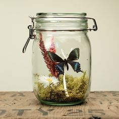 Glass Jar Terrarium Kit with Alpine Black Swallowtail Butterfly