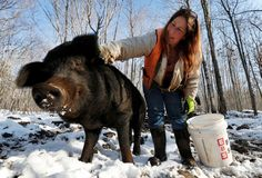 WASHINGTON, Maine — Susan Frank and her dogs spend their days shepherding hairy, black pigs with names like Bacon, Pork Chop and Yummy around a chunk of Maine woods. Her farm, which raises and fattens the rare American mulefoot hogs...