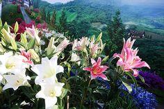 Gambar Bunga Lili Yang Indah