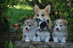So cute! Someone needs to take this photo and write a story about Mama and her three little Corgis.