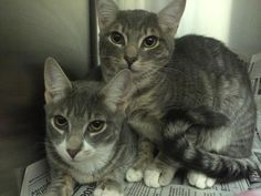 Available for adoption - Star is a female cat, Domestic Short Hair, located at Calling All Cats Rescues in Bayville, NJ.