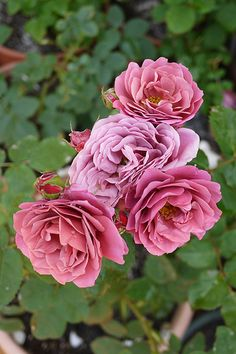 Shrub Rose: Rosa 'Aoi' (Japan, not sure if it's in commerce yet)