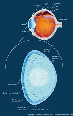 The_Anatomy_and_Structure_of_the_Adult_Human_Lens.png (938×1492)