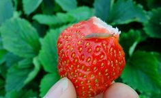 : Вредители на клубнике Strawberry Beds, Strawberry Patch, Strawberry Plants, Plant Bugs, Bug Off, Fruit Flies, Tall Plants, Pest Control, Vegetable Garden