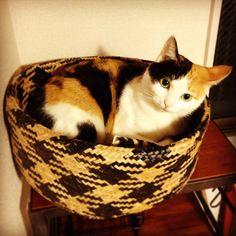 I like this photo: 目の色が緑だったり青だったり不思議な目だねー#cat  #calico #calicocat  #猫 #猫部 #三毛猫 #akafuku_cat
