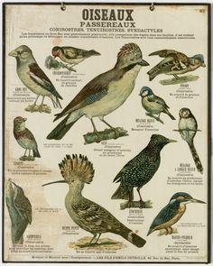 Oiseaux - Deyrolle