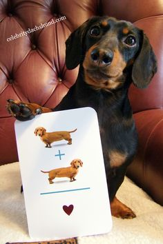 Smart doxie. ♥  (Interesting story...My husband and I have a Doxie and We gave each other the same card for our anniversary thats in this pic...We didn't know we had got the same card til we opened them)