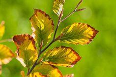 Herbstlicher Farbtupfer vor lichtem Grün, farbenfrohes Buchenlaub, Fagus, Heckenpflanze