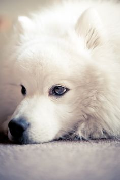 Monte looking rather bored this afternoon - Monte - Japanese spitz - funkitten.com.au