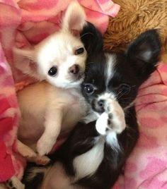 Chihuahua puppies, sooo........ precious
