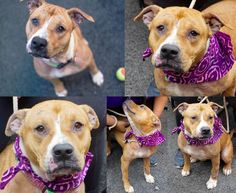 PEACH aka JESSICA – A1072450 on death list today, a sweet family dog! f you would like to foster or adopt and can't make it to the shelter, please write an email NOW to the Urgent Help Desk at   Helpdogs@Urgentpodr.org  Their experienced volunteers will assist you one-on-one with rescues and the application process. Transport can be arranged by rescues to the homes of approved fosters or adopters within 3-4 hours of New York City