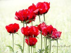 Armenischer Arznei-Mohn. Gigantische Blüten, aber nur für kurze Zeit.