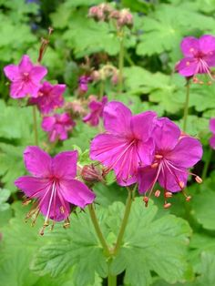Geranium macrorrhizum (Bevan's Variety) | A hardy, semi-evergreen perennial with strongly aromatic, broadly-lobed, bright-green foliage. Deep-magenta pink flowers from April to June. A drought resistant plant, suitable for ground-cover. Height 30cm. Spread 60cm. Easy to grow in most garden soils in sun or partial shade.  Mine tolerates a lot of neglect - it thrives in spite of me.