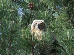 Juvenile Great Horned Owl nesting outside my work.