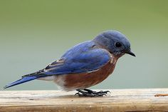 Bluebirds are enjoying the Spring in our area.  We have a Tennessee Bluebird Society for those interested.