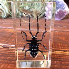 Longhorn Beetle Paperweight