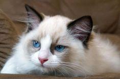 Ragdoll cat (58 photo) (6)