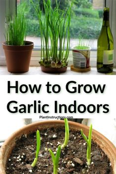 Can you grow garlic indoors? Growing garlic indoors is so easy that even beginner gardeners can master it! Growing Garlic From Cloves, Grow Garlic, Garlic Growing Indoors, Plants To Grow Indoors, How To Plant Garlic, Hydroponic Gardening, Container Gardening, Indoor Gardening, Succulent Containers