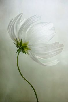 Beautiful White Cosmos Flower