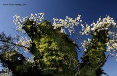 Der alte Efeu-Kirschbaum in Elis geheimen Garten ...