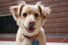 Too cute: golden retriever/chihuahua mix by ohtammmy, via Flickr