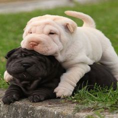 These Shar-Pei puppies are the very best of friends! Two sharpei puppies lying together in the garden by Shutterstock. These Shar-Pei puppies are the very best of friends! Two sharpei puppies lying together in the garden by Shutterstock. Cute Baby Animals, Animals And Pets, Funny Animals, Funny Dogs, Shar Pei Puppies, Cute Puppies, Sharpei Dog, Poodle Puppies, Dog Shar Pei