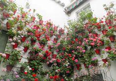 Blomsterhav i Cordoba #Cordoba #Andalusien #Patio