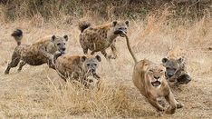 The Londolozi Game Reserve sees many a spectacular wildlife scene play out - but this spectacle of a Hyena pack taking on a lion is the stuff of legends.